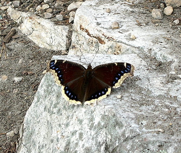 Mourning_Cloak_butterfly_(Nymphalis_antiopa)_near_West_Overlook
