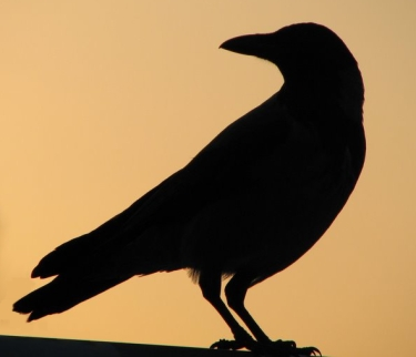 Crow_silhouette