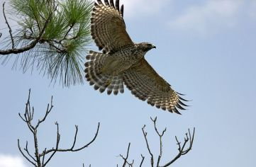 Red-shouldered_Hawk,_juvenile_(7653584216)