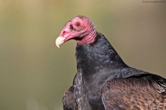Red head like a turkey = turkey vulture. Photo provided by Shjravans14 via Wikimedia Commons.